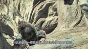 《阿爾法·狼伴歸途》野狼竟然多次保護一個人類?