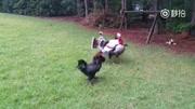 這個女人心愛的寵物是兩只大公雞