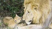 獅子王辛巴:辛巴任命皇家職位。