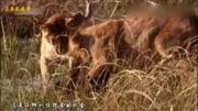 鬣狗剛掏完一只河馬,又想掏平頭哥蜜獾,不料這次遇到強敵了