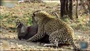 非洲鬣狗以為大象好欺負,終于體會到獅子都不敢獵食大象的原因