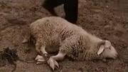 體貼的羊主子喂養理發剪羊毛,羊主子的技術好,理的還算是很平整