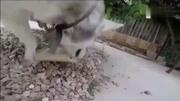 哈?#31185;?#39640;兴的帮主人拆包裹,当发现是狗链立马就崩溃了!