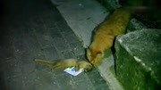 猫咪和黄鼠狼打架,到底谁更厉害?颠覆认知!