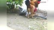 身材庞大的公鸡,在院内挑选母鸡瞬速下手骑在身上啄!