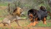 说藏獒能打赢老虎的闭嘴吧,让你看看真的东北虎有多大