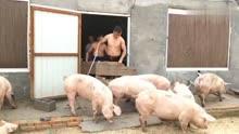 实拍农村家里卖猪,5个人和猪?#20998;?#26007;勇,真是一波三折!