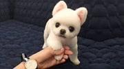 小奶狗想吃奶,一下把狗媽媽按倒,太可愛了!