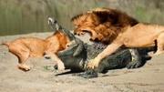 母獅殘忍殺死幼獅, 幼獅哭得撕心裂肺!