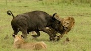 动物世界的速度与激情 猎豹和羚羊赛跑 到底谁会更胜一筹 结局