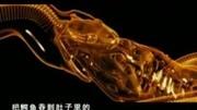 【動物兄弟】兇猛的大章魚