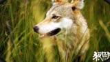 《狼圖騰》全國公映 狼馬大戰爭奪賀歲檔