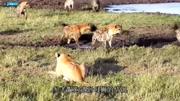 鬣狗與老虎之戰, 太自不量力了