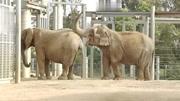 【丫丫】大象鼻子長