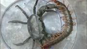 這只蛤蟆逆天了,來戰的蝎子、蜈蚣、螃蟹、蛇都敗下陣成了盤中餐