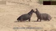 世界上最兇猛的動物,攻擊力非常強大,不是老虎和獅子