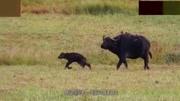 目睹小牛被吃,水牛群怒了,追蹤并殺死小獅子