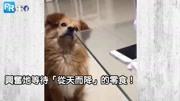 """狗狗搞笑;天然呆!""""零食明明掉下来""""却凭空消失?狗狗整只当机看着地上:""""我的零食"""