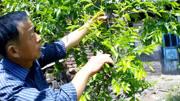 果树修剪技术视频 梨的种植技术