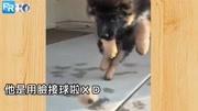"""狗狗搞笑;球呢!?小狼犬""""用脸接球""""一脸超慌恐..网:忍不住重播十次!"""