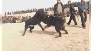 """""""战神""""比特犬VS藏獒,谁才是世界上战斗力最强的狗?"""