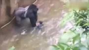 母亲不慎让小孩掉入动物园,猩猩将他接住,却因此丢掉性命