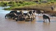 塞伦盖蒂:东非野生动物大迁徙的初始地