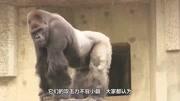 银背大猩猩 轻易杀死狮子? 揭秘最大的灵长类森林王者