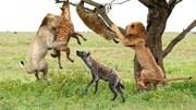 第20集:鬣狗