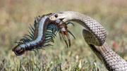 世界五大最毒蜈蚣排行榜 長達50厘米的巨人蜈蚣 咬一口生命垂危