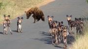 兩頭非洲雄獅大戰老獅王, 獅群慘遭大更換, 動物世界最慘烈的一幕!