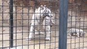 贫穷限制想象,迪拜土豪买两只白狮给自己看车库,够威武