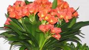 君子蘭爛心爛葉,一個小方法,完美解決,葉片又肥又厚,開花多