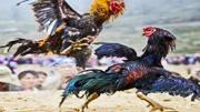 2只公雞打架,結果警察來了,到底誰報的警?!