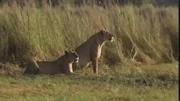 匪夷所思的母獅咬死并吃掉自己所生幼獅_獵奇視頻