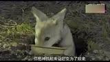 最新 《狼圖騰》電影高清馮紹峰精彩電影提前看
