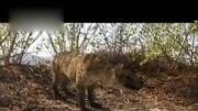 侏羅紀世界:獨角犀牛獸VS棘背異齒龍