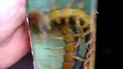 實拍巨型蜈蚣捕食蟑螂全過程 迅雷不及掩耳