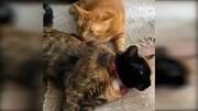 圍脖畫報:雙面貓咪維納斯