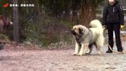 失去母親的小棕熊被狼逼到樹上, 關鍵時刻哥哥出現了!