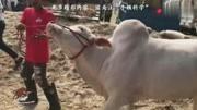 死亡瞬間:史上最勁爆的斗牛,死得最慘的斗牛士!