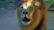 當母獅叼著出生不久的小獅子來認爸爸時,雄獅的眼神亮了