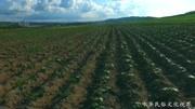 吉林集安:人参种植来致富 农民收入节节高