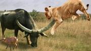 十大貓科動物戰斗力排名 獅子老虎誰更強?榜首實至名歸