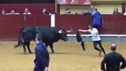 斗牛實拍:罕見的白色黃牛戰斗力不輸水牛,把對手打得傷痕累累