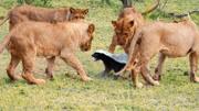 剛剛從鞋帶上扯下來學的 哈哈哈#小獅子手鏈