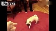 《动物对主人的反应》假死搞笑动物视频(2018)