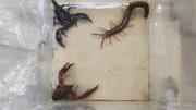 蜈蚣和蝎子打架,螃蟹当裁判!
