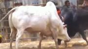 贵州斗牛:别看不起小牛,抠功不输于大牛,20秒后更精彩了