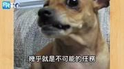 狗狗搞笑;一个快门一个动作!超萌小博美一看到相机立刻化身雪球模特!(请打开音效)